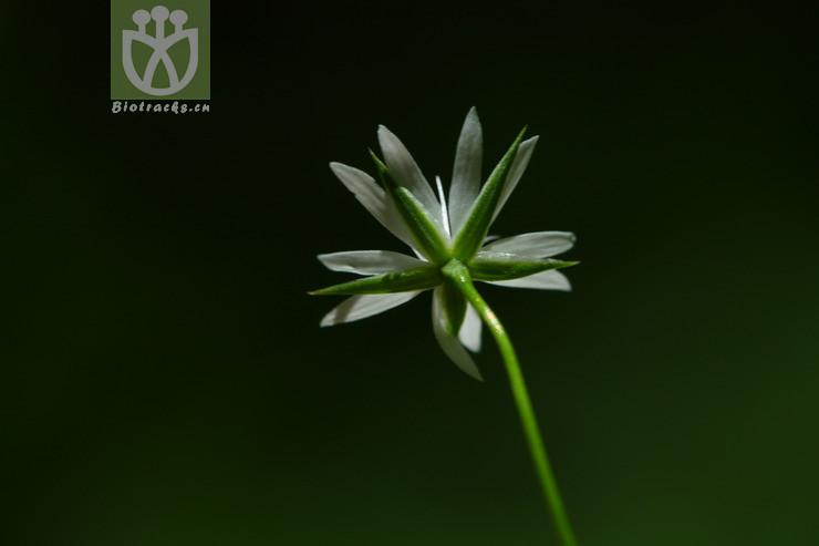 Stellaria palustris
