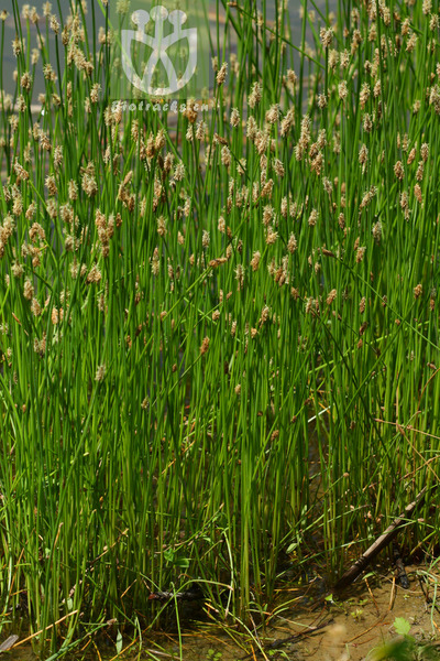 Eleocharis palustris var. major