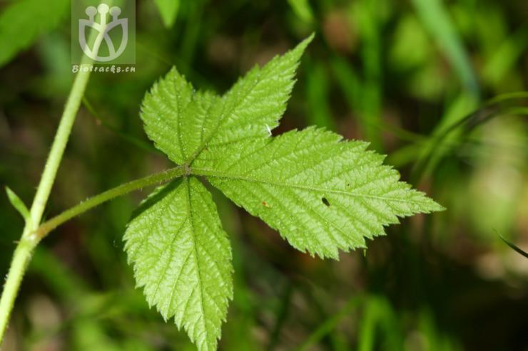 Rubus saxatilis