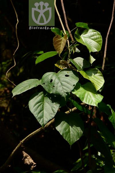 Byttneria grandifolia