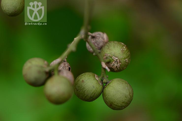 Myxopyrum pierrei