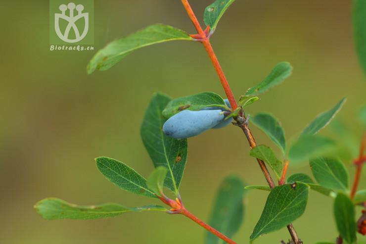 Lonicera caerulea var. edulis