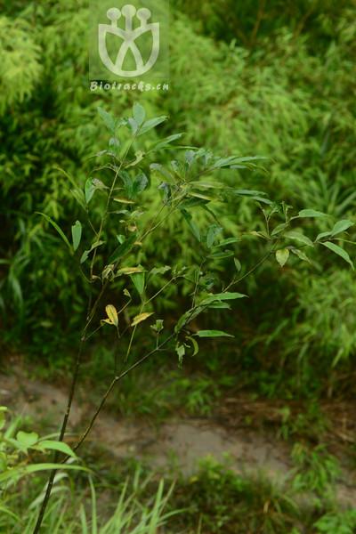 Euonymus hukuangensis
