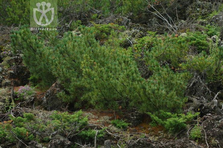 Pinus pumila