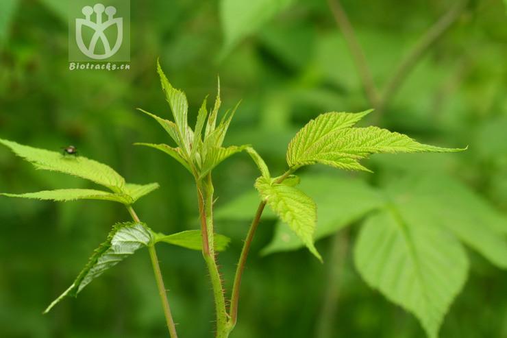 Rubus sachalinensis
