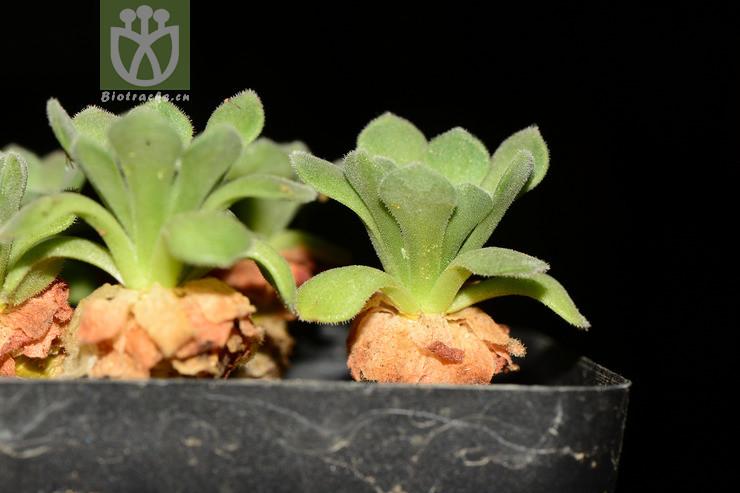 Umbilicus platyphyllus