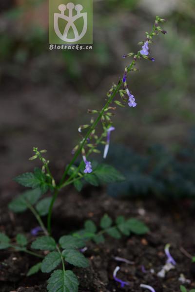 Salvia nanchuanensis