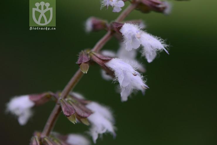 Salvia scapiformis var. scapiformis