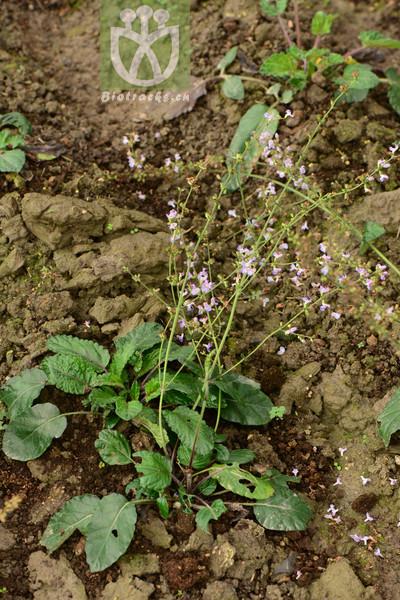Salvia prionitis