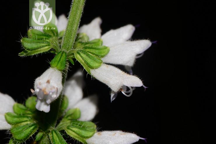 Salvia filicifolia