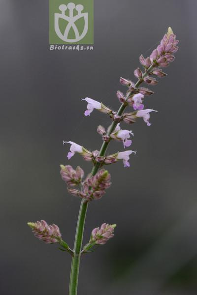 Salvia adiantifolia