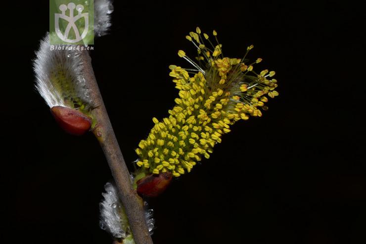 Salix cinerea