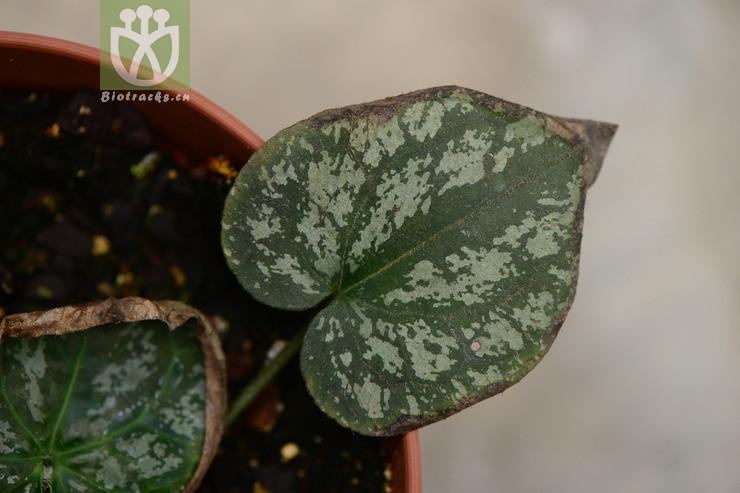 Asarum cardiophyllum