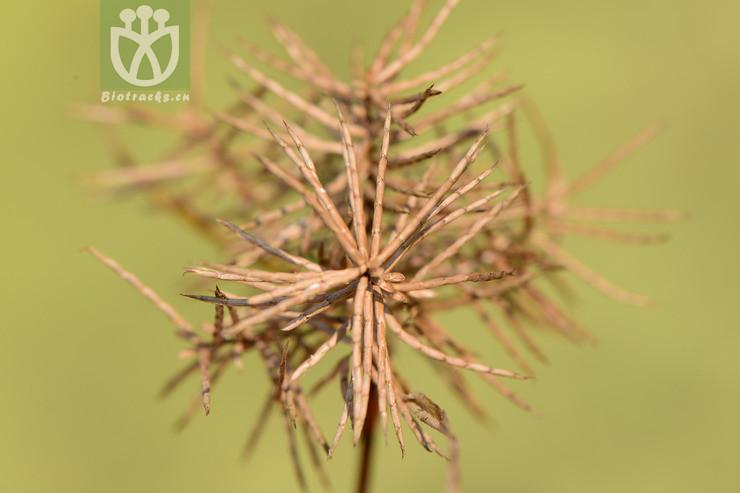 Torulinium ferax