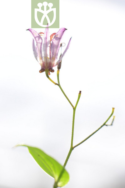 Tricyrtis formosana var. formosana