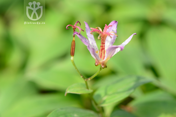Compsoa formosana