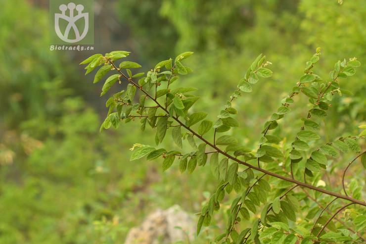 Grewia brachypoda