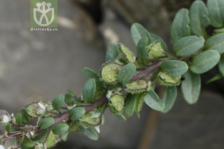 Taphrospermum verticillatum