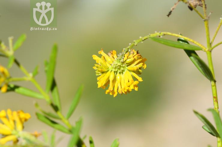 Wikstroemia stenophylla