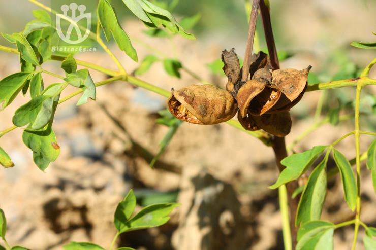 Paeonia decomposita