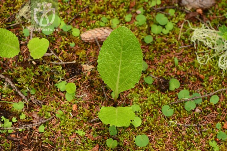 Ligularia brassicoides