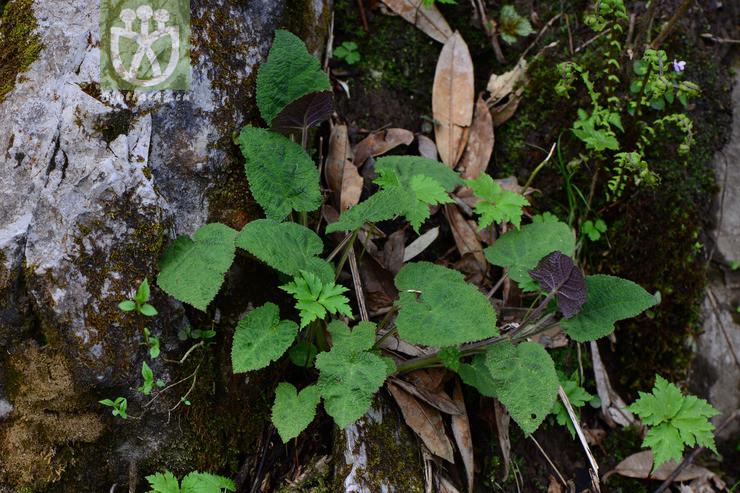 Salvia omeiana