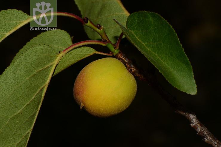 Armeniaca holosericea