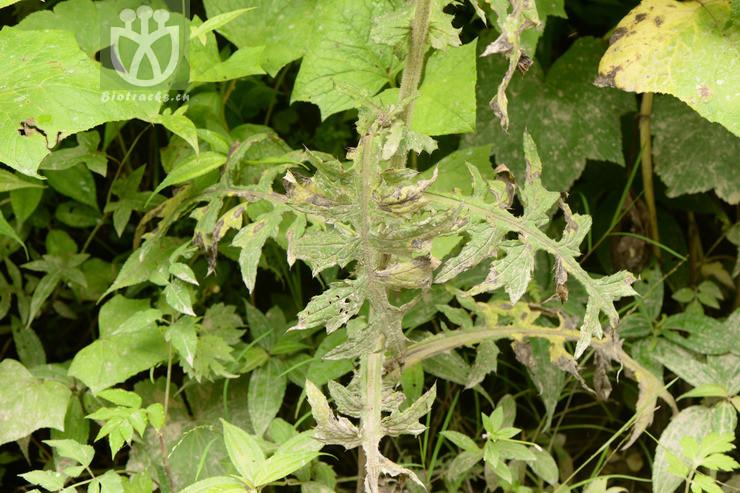 Cirsium fangii