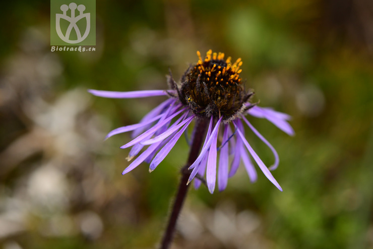 Aster asteroides