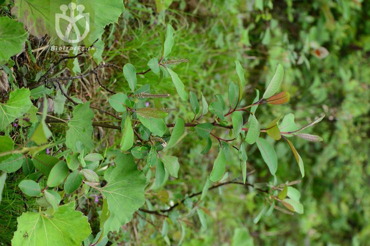 Salix magnifica var. ulotricha