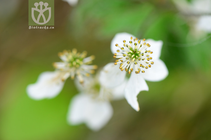 Anemone demissa var. villosissima