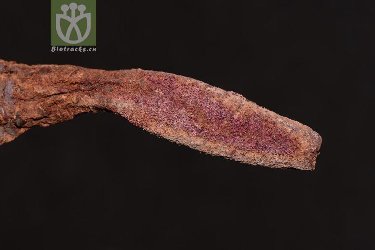 Cynomorium songaricum