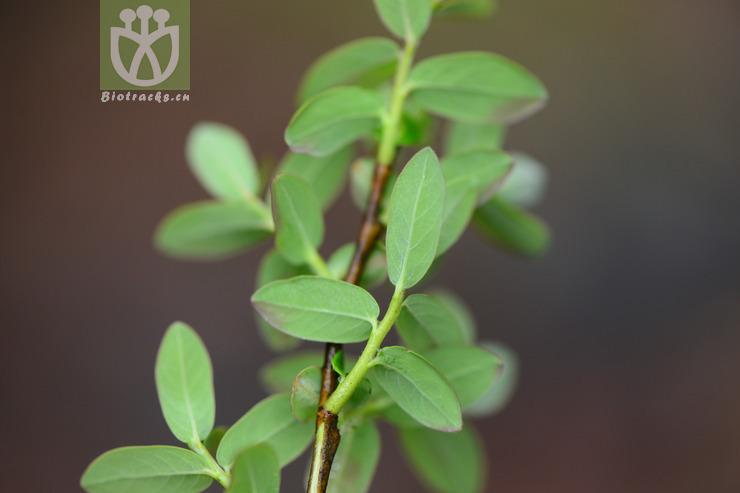 Salix dissa