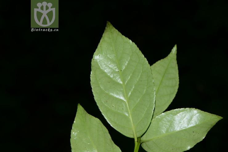 Euonymus chuii