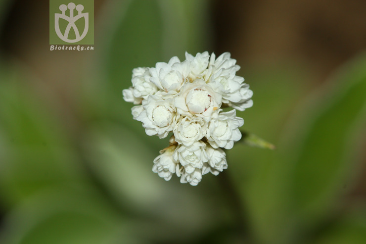Anaphalis spodiophylla