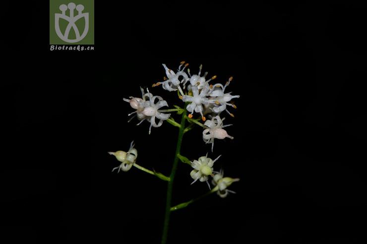 Aletris cinerascens