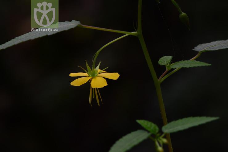 Corchoropsis crenata