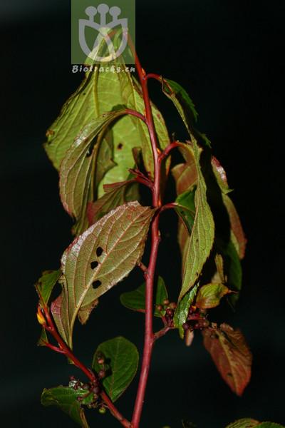 Perrottetia arisanensis