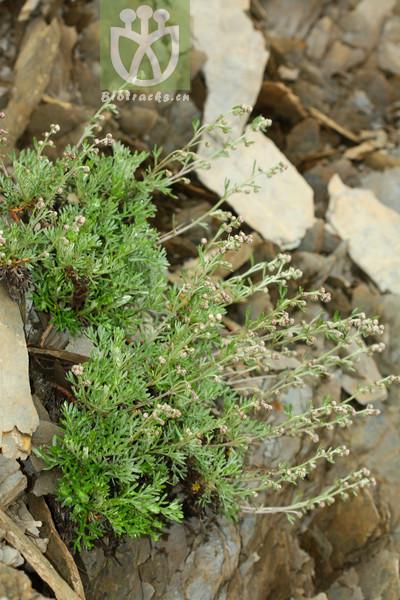 Artemisia kawakamii