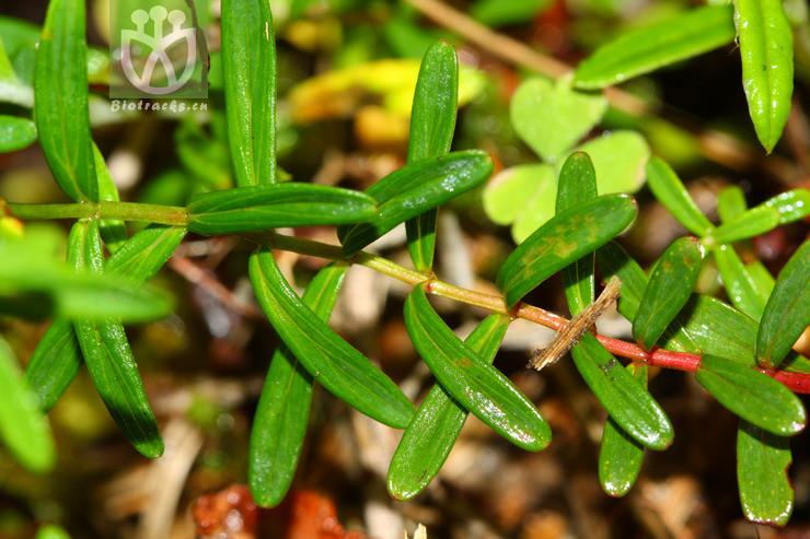 Hypericum nagasawai