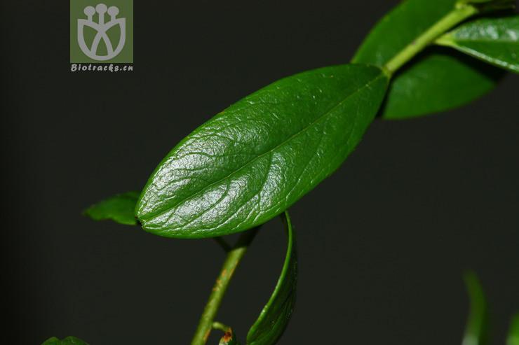 Daphne arisanensis