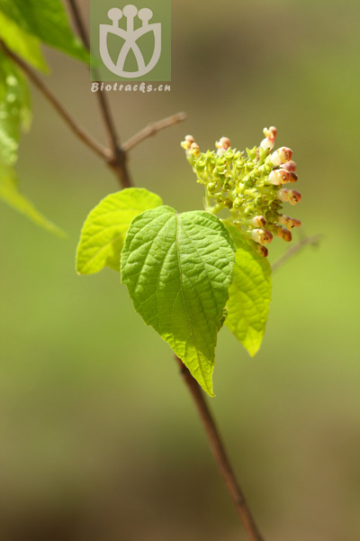 Premna urticifolia