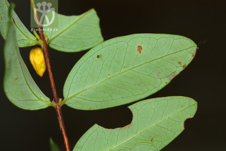 Hypericum geminiflorum