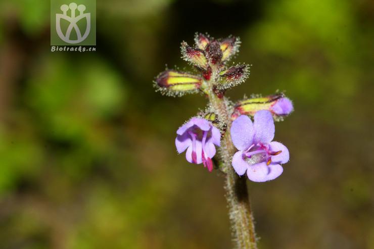 Salvia hayatae var. pinnata