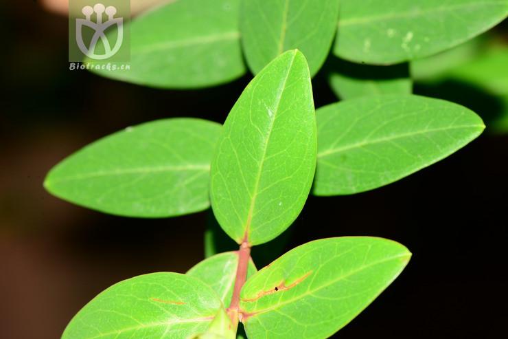 Hypericum lagarocladum subsp. lagarocladum