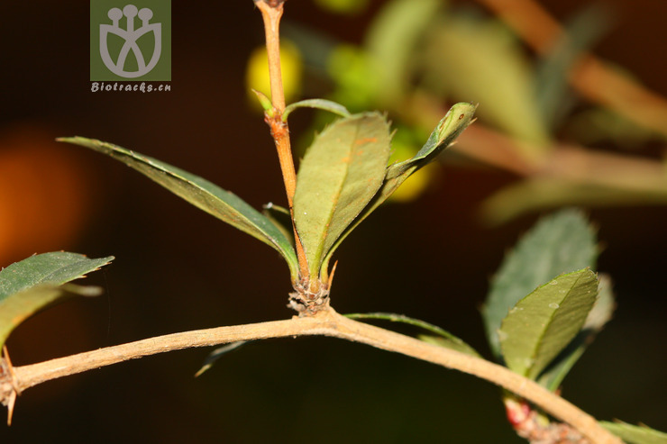 Gymnosporia esquirolii