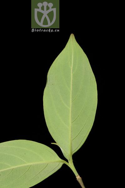 Cornus elliptica