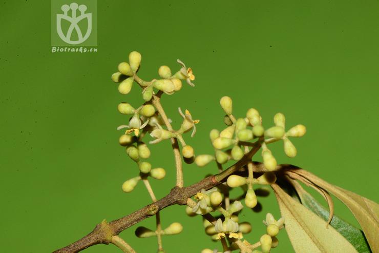 Olea africana