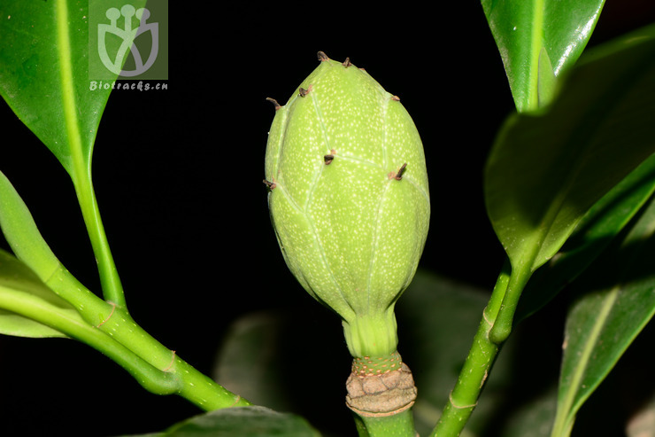 Pachylarnax sinica