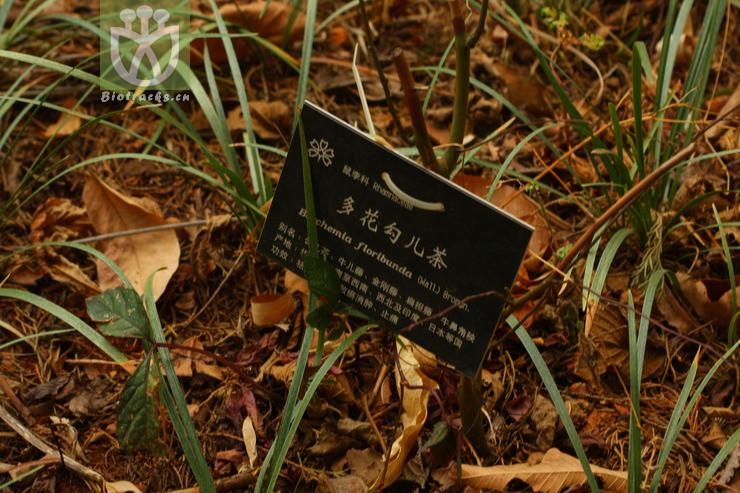 Berchemia racemosa